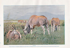1910 NATURAL HISTORY PRINT DOUBLE SIDED ~ ELAND / KUDU ~ LYDEKKER