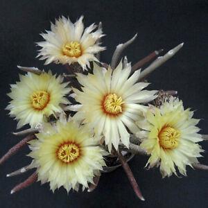 Astrophytum caput-medusae cactus Cactaceae Garden Decoration flowering Plants