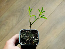 Winter orange tree , Poncirus trifoliata (Citrus trifoliate ) *1 PLANT *