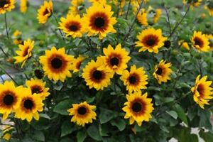 100 Sunflower Dwarf Seeds