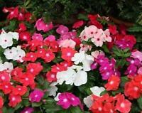 10 Pc Vinca F1 Nana Mix Flower Seeds Bonsai Home garden plant