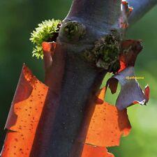 20 Graines Érable The paper bark maple, Acer griseum Fresh seeds