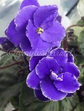 African VioletOptimara Yellowstone - Starter Plant Budding