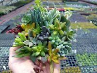 25 Succulent Cuttings 25 varieties Sedum Echeveria Crassula Stonecrop