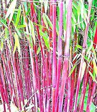 Der neue winterharte rote Bambus Chinese Wonder ist der richtige Kontrastgeber