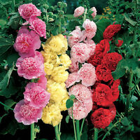 Seeds Hollyhock Mallow Terry Mix Giant Flower Perennial Garden Organic Ukraine