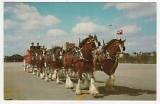 Budweiser Clydesdale Pc Postcard Busch Gardens Los Angeles California Horses