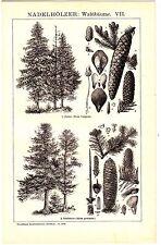 1894 Botanical Tree Coniferous Woods, Pinecones Antique Lithograph Print