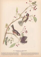 "1942 Vintage AUDUBON BIRDS #194 ""HUDSONIAN CHICKADEE"" Color Art Plate Lithograph"