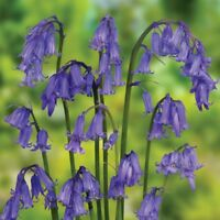 ENGLISH BLUEBELL SEEDS X APPROX 1000 RIPE FRESH SEED