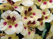 25+ LADYBIRD CREAM PURPLE NASTURTIUM FLOWER SEEDS  / ANNUAL