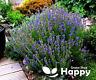 HYSSOP SEEDS - 1000 SEEDS - Fragrant herb seeds - Blue perennial flower