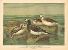 Ducks, Waterfowl, Coastal Birds, Vintage 1905 German Antique Art Print Plate #17