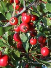 ACEROLO bizcobo  acerola crataegus azarolus 20 semillas seeds