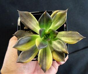 Echeveria Bess Bates Rare Succulent