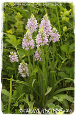 Dactylorhiza fuchsii 'Common Spotted-orchid' [Ex. Co. Durham] 1000+ SEEDS