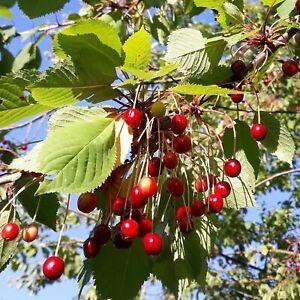 Wild Cherry - Prunus avium - 50+ seeds - Semillas - Graines - Samen