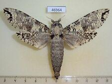 46964p Cossidae Strigocossus moderata Uganda