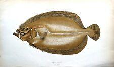 SAIL FLUKE Jonathan Couch Original Antique British Isles Fish Print c1870