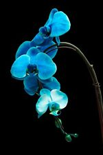 Blue Orchid on Black Background Photography Print by Luis Torres