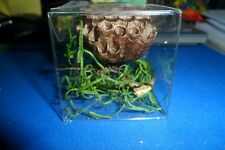 1 Paper Wasp Nest Specimen Insect Taxidermy