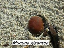 Extremely rare seeds * Mucuna gigantea – Seabean* Burny Bean *1 large seed