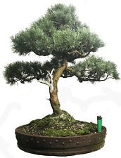 Dwarf Pinus sylvestris  (scot`s pine)  outdoor bonsai tree