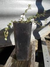 1 x thyme plant: thymus vulgaris, perennial herb plant tube size