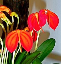 MASDEVALLIA espèces RED rayures orchidées