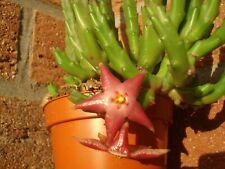 Stapelia divaricata-Sukkulenten,Piaranthus,Caralluma,Duvalia.Orbea,Huernia,Aloe
