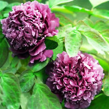 Purple Quebec Peony 20 Seeds Chinese Peony Seeds Natural Rare Beautiful Plant