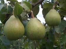 Pyrus Beth Pear Fruit Tree 6ft 2-3Year Half Standard Supplied in a 7.5 Litre Pot