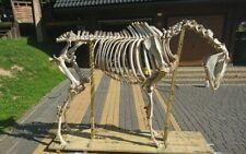 Antique horse skeleton unique opportunity