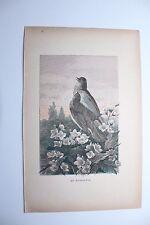 """Ancienne gravure oiseau """" le Rossignol """"  par J.Huyot et H. Giacomelli 1897"""