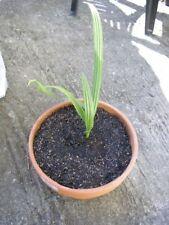 🌴 Dattier Palmier Dattes Medjool, Jeune Plant, Fruitier Exotique Plante Rare