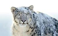 COOL SNOW LEOPARD GLOSSY POSTER PICTURE PHOTO beautiful wild cat vicious 2115