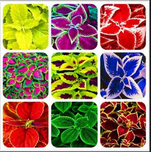 Exotic Coleus 100 PCS Seeds Bonsai Flowers Potted Begonia Plants Garden Mix NEW