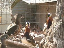 6 mandarin duck hatching eggs In Hand Ready To Ship
