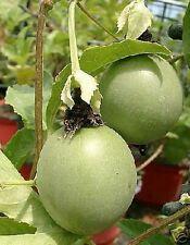 Passiflora edulis, die MARACUJA-Pflanze, wunderschön