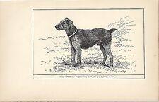 Rare 1900 Uk Original Dog Art Pen & Ink Print Rh Moore Champion Welsh Terrier