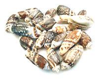 "25 Small Olive Gibbosa Shells under 1"" Seashells Crafts Beach Nautical Coastal"