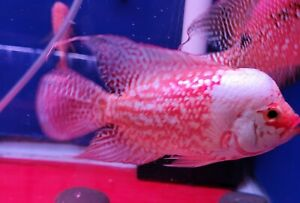 """ASK FOR BEST OFFERED/FEMALE SUPER WHITE RED BODY /BIG TAIL KING KAMFA AAA 3.5"""""""