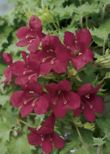 3 x Lophospermum 'Burgundy Wine' Cutting raised Plug Plant 'Vigorous Trailing'