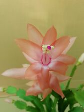 Zygo Cactus - Schlumbergera Twilight Tangerine