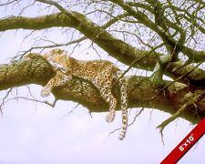 LEOPARD IN TREE WILDCAT BIG CAT ANIMAL PAINTING WILDERNESS ART REAL CANVAS PRINT