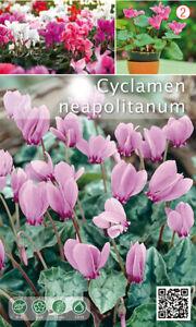 Nr. 284- Alpenveilchen ' neapolitanum'  winterhart  große Knollen 25/30, 5 St.