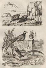 Common/Golden Pheasants.Fasciolaria/Tulip snail.Opiliones/Harvestman spider 1834
