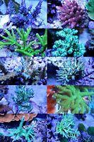 *SCF* SPS Frag Pack  10 Live SPS coral frags
