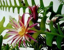 1 x Epiphyllum Fishbone Cactus Rig Rac Zig Zag Succulent Plant Cutting