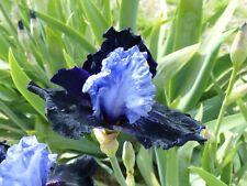 Tall bearded iris Dangerous mood